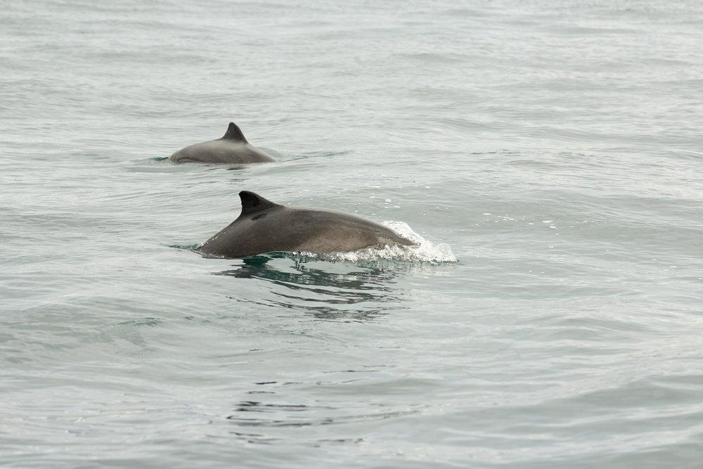 Two Harbour Porpoises (Photo: Rodrigo A. Martinez Catalan)