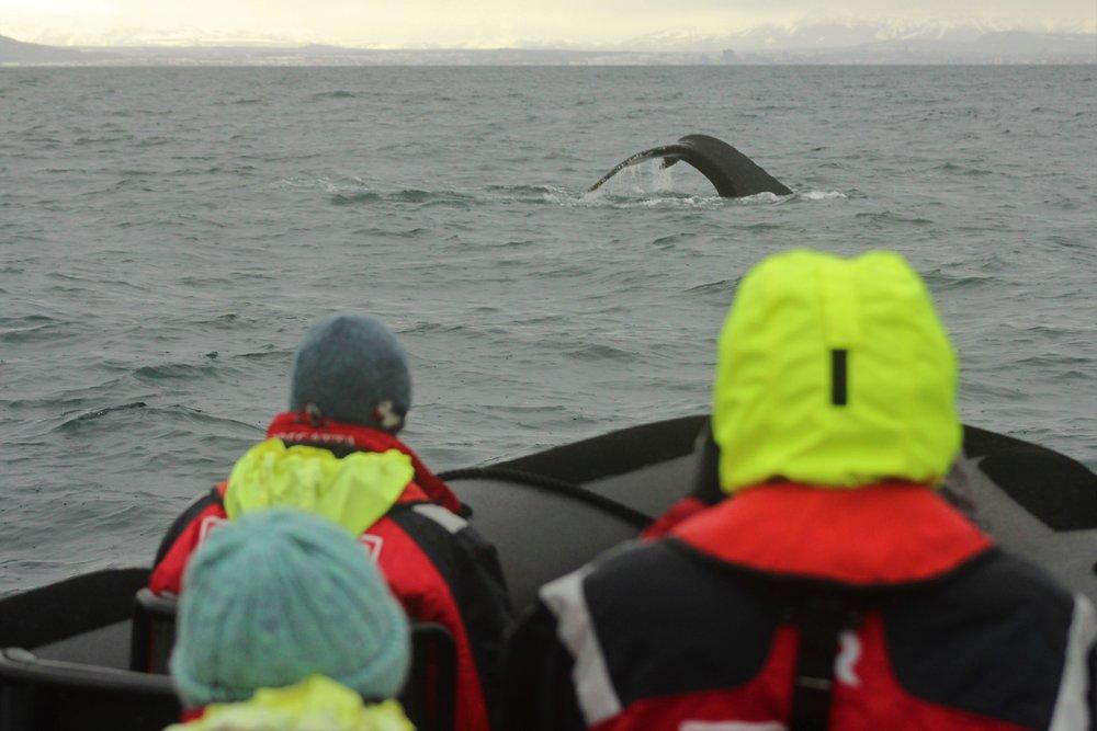 Humpback whale diving (Photo by Rodrigo A. Martinez Catalan)