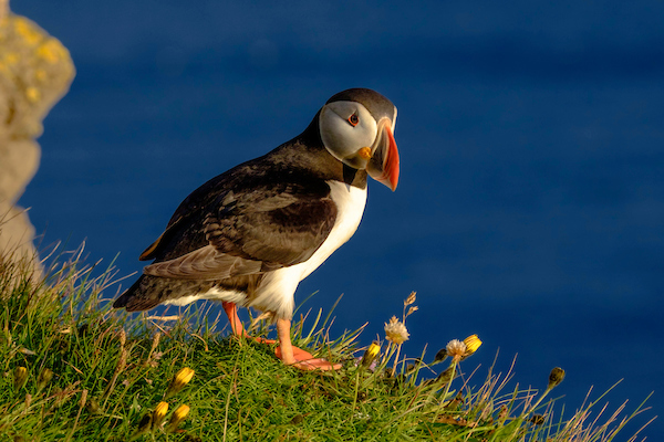 puffin from Frikki29_7.jpg
