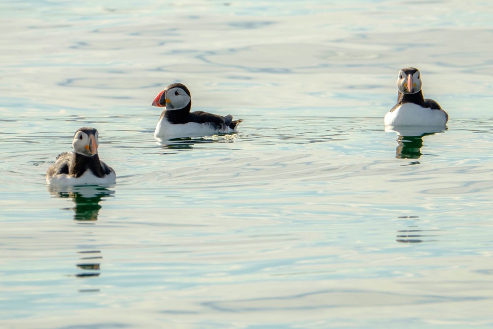 puffin_swimming.jpg