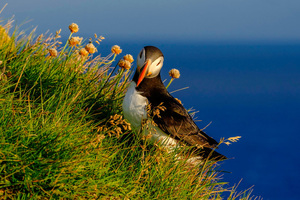 puffins2 from Frikki 29_7.jpg