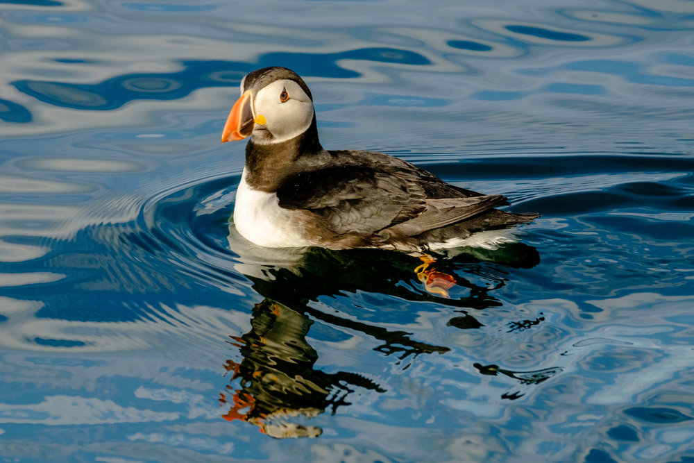 swimming_puffin.jpg