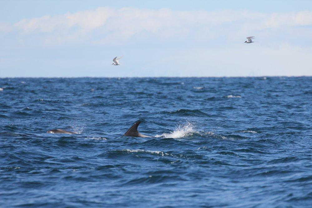 20180521-white-beaked dolphins