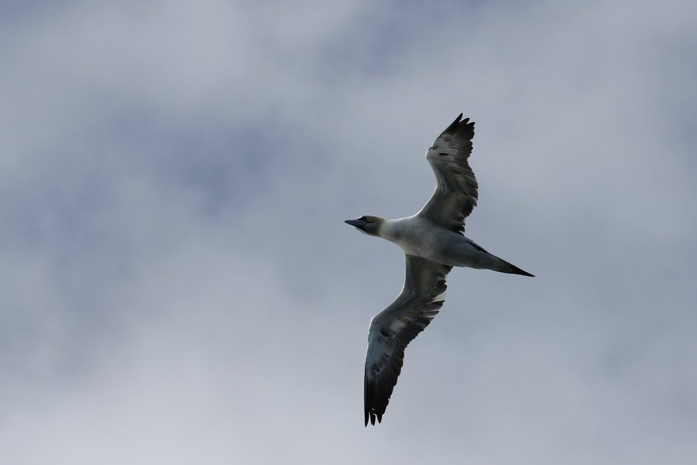 20180521-northern gannet