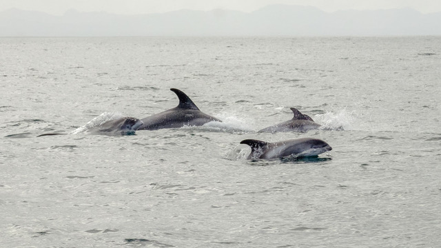 A pod of White-Beaked-Dolphins