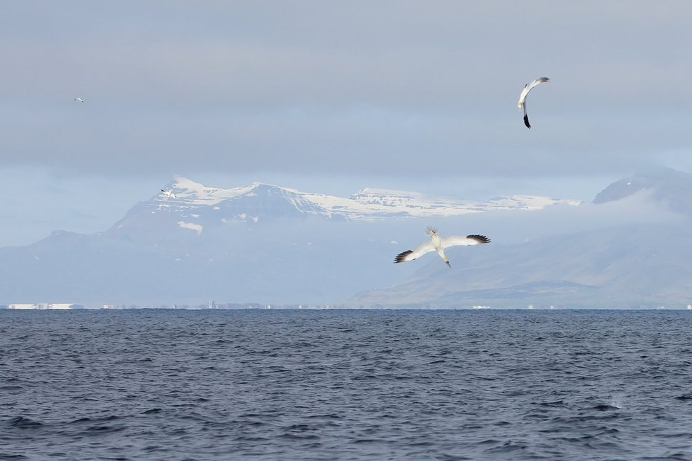 Northern gannets diving