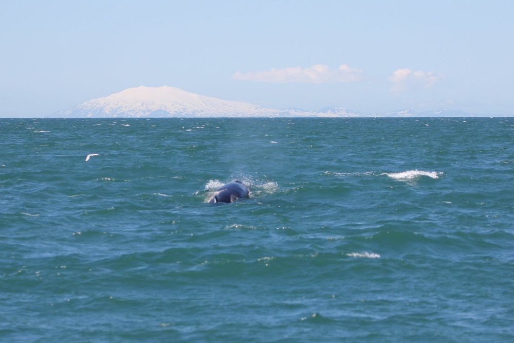 Snæfelljökull and minke whale