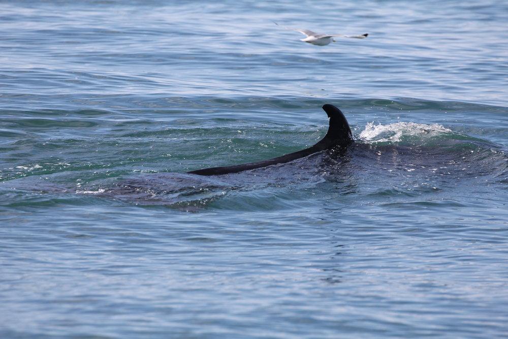 White-beaked dolphin