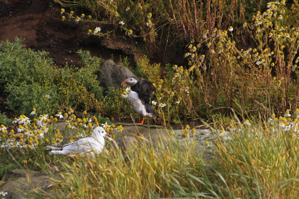 Puffin and young kittiwake