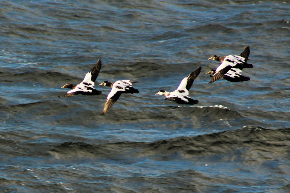 Eider ducks flying. Plumage molting.  Photo by naturalist Rodrigo A. Martinez Catalan