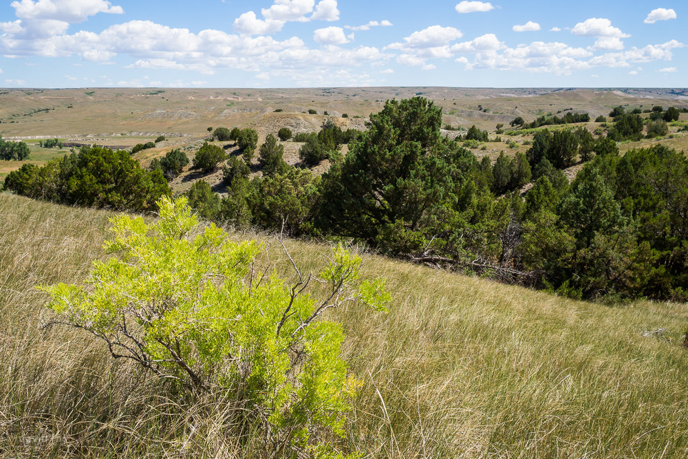 The Sage Creek area of Badlands is defined by rolling grassy hills with the occasional bush or group of trees.