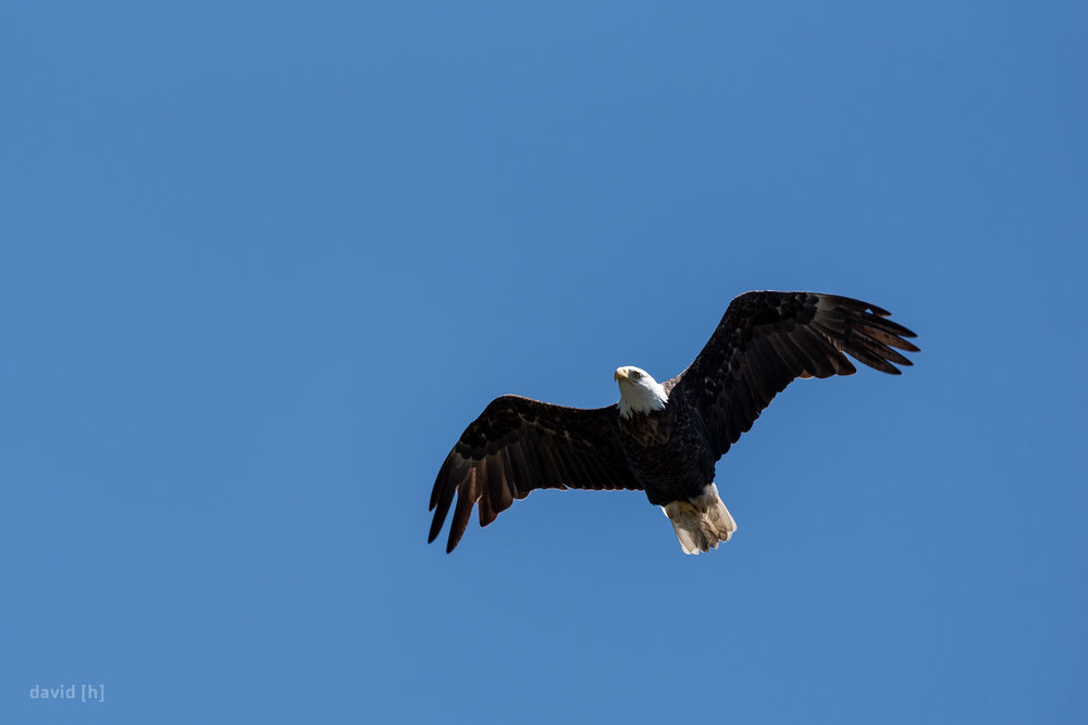 A bald eagle flying over Banff, Alberta, Canada.