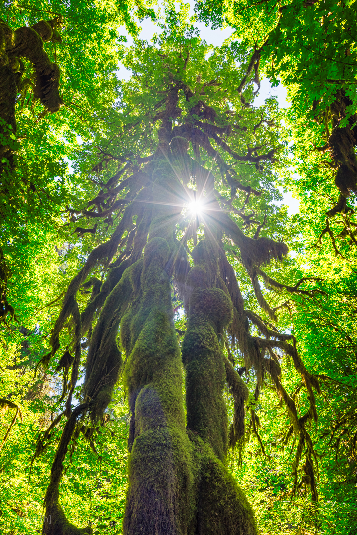 The magical Hoh Rainforest has every single tree covered in a thick blanket of moss.