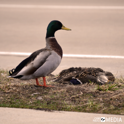 A drake mallard stands watch over his fallen mate.