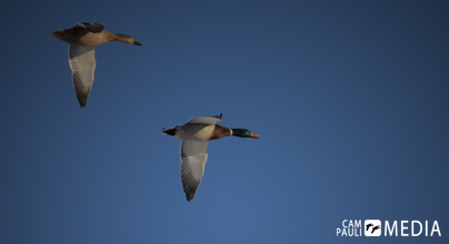 A pair of mallards migrate north together.