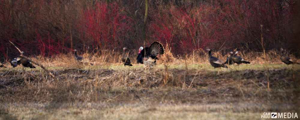 A few of the many turkeys roaming my parents property.