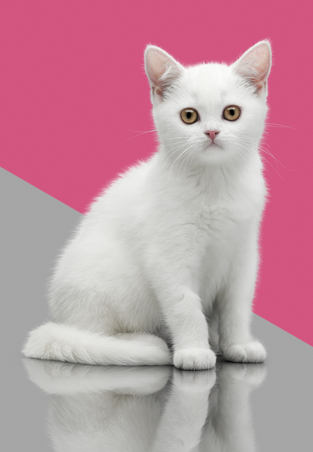 Purina-BSH_White_Kitten_028.jpg