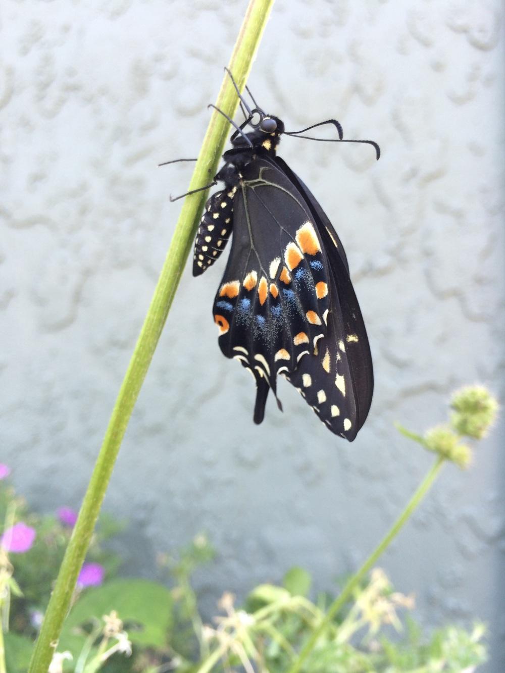 black_swallowtail_butterfly