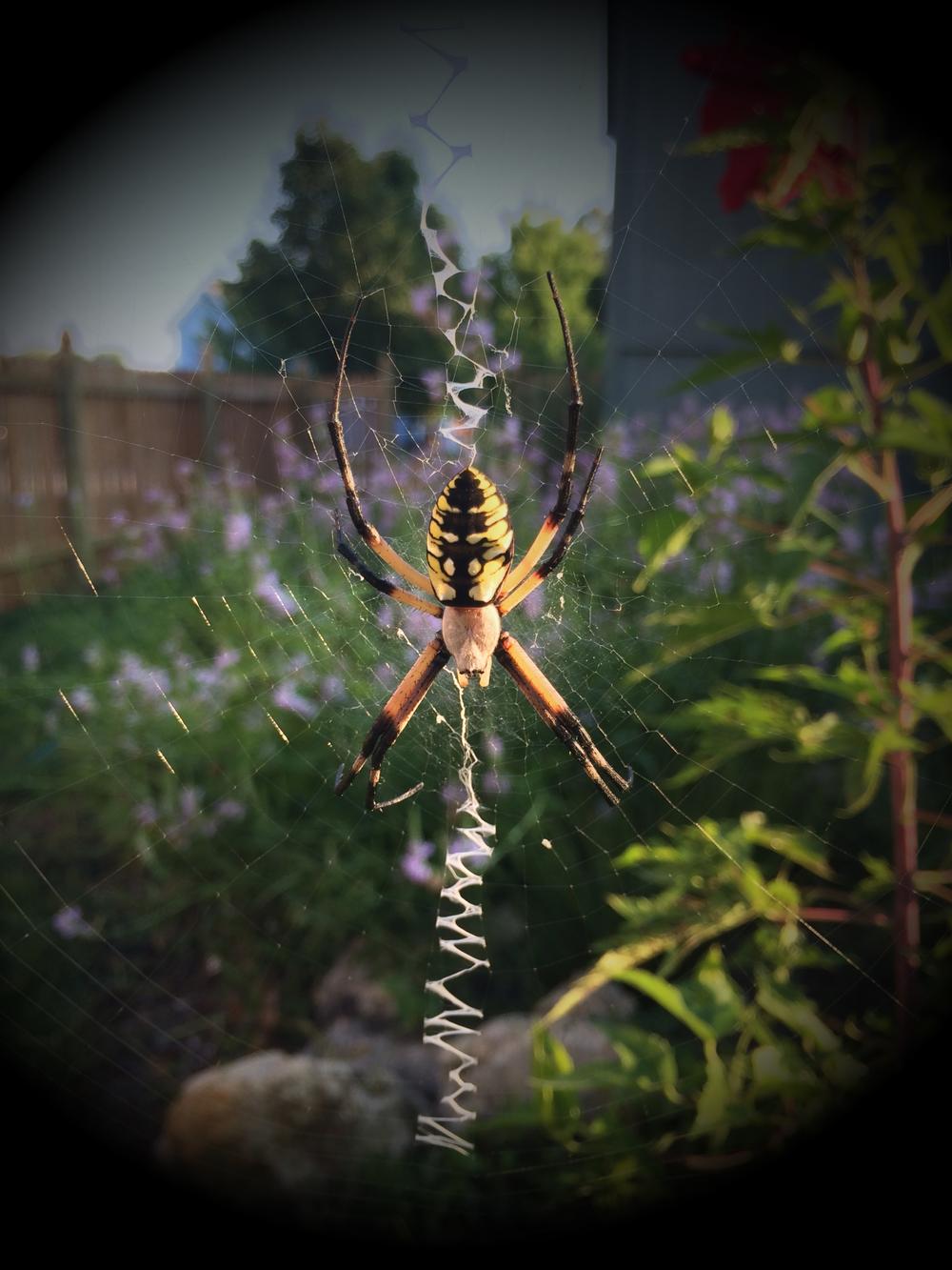 yellow_garden_spider.jpg