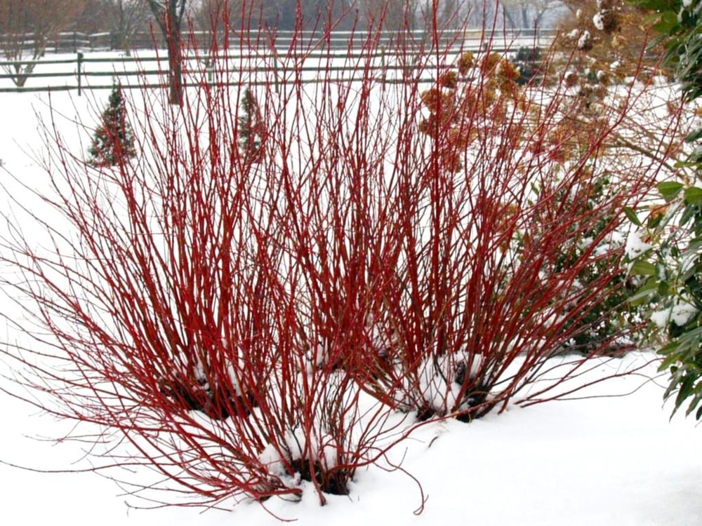 5. Red (or Yellow) Twigged Dogwood