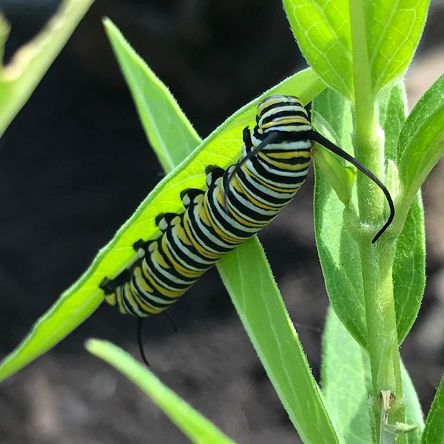 We've been watching for Monarchs...today we found some happily munching on some milkweed. #underthecanopy #flowerfarmer