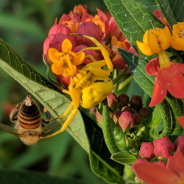 Yellow Crab Spider disguises herself on the yellow blooms of tropical milkweed. Her prey hangs lifeless from the leaf next to her.  #spider #camo #nature
