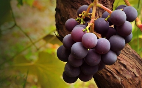 grape_vine-t2.jpg