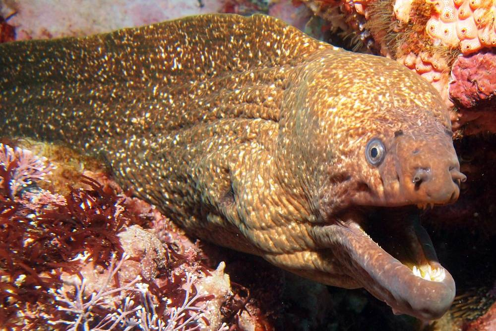 Speckled moray (Gymnothorax obesus)