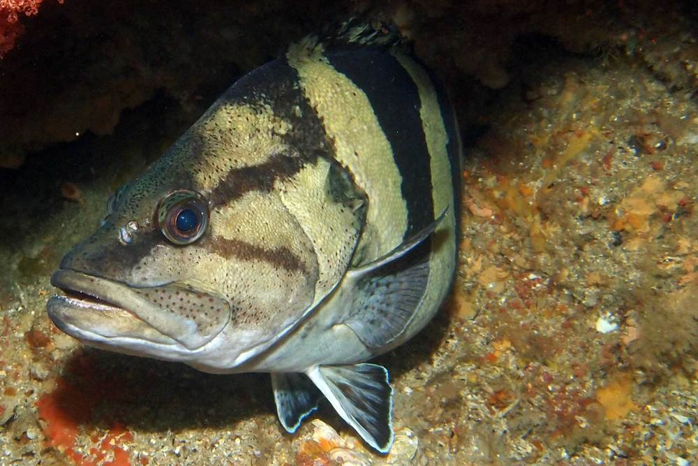 Yellow banded perch (Acanthistius cinctus)