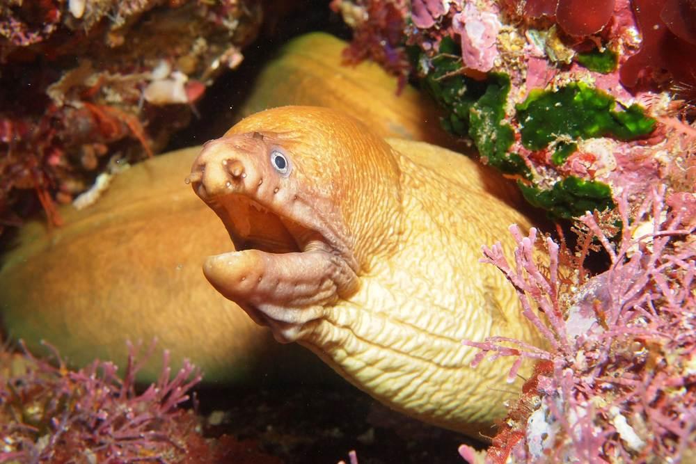 Yellow moray eel (Gymnothorax prasinus)