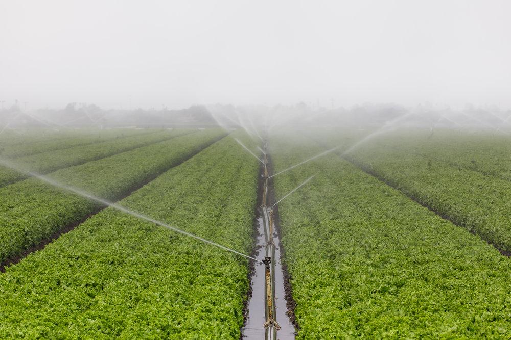 bigstock-Lettuce-Field-Irrigation-44884300.jpg