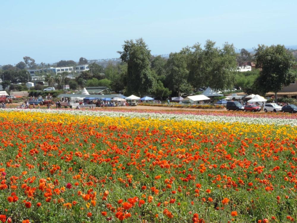 carlsbad flower field.JPG