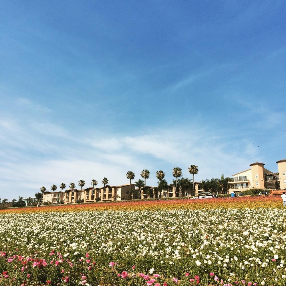 carlsbad flowerfield.JPG