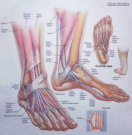 The external muscles start in the leg andare linked to the foot through tendons.The intrinsic muscles start and end within the foot.