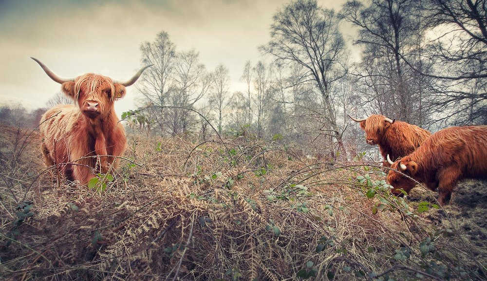 Highland cows . Forestry Commission, Scotland.