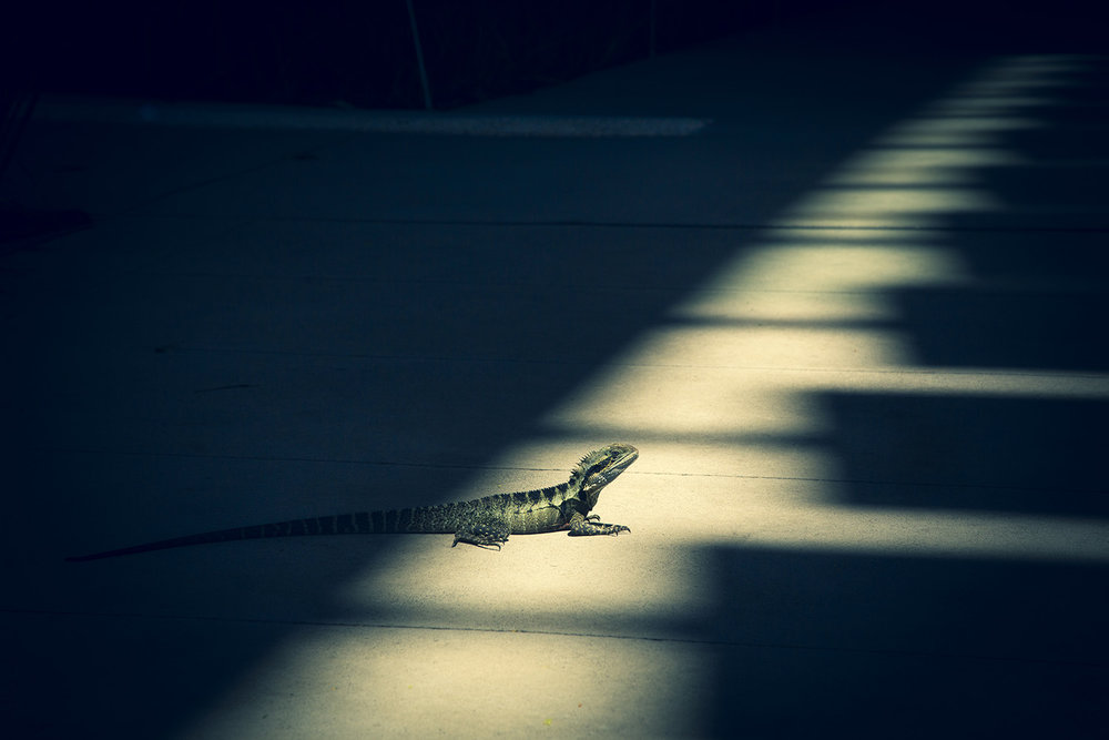 Eastern Water Dragon , Brisbane.