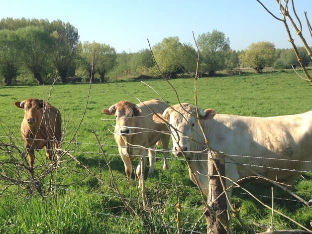 Normandy cows