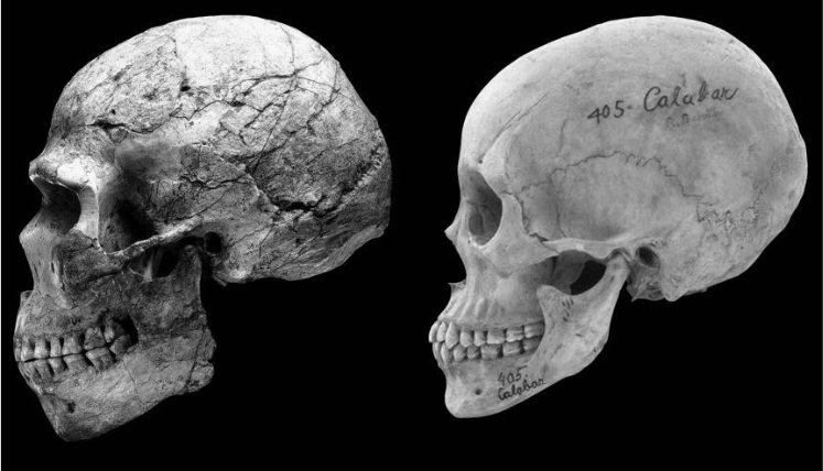 The skull to the Right is a modern Human skull and shows feminization in things like reduced brow ridge and Jaw size
