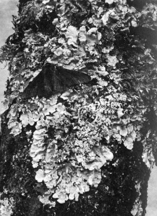 In normal conditions, the peppered moth blends into surroundings as seen here. However, during the industrial revolution, there was so much coal soot that the melanic (black) variety of peppered moth flourished because they could blend into surroundings more easily than the black and white variety.