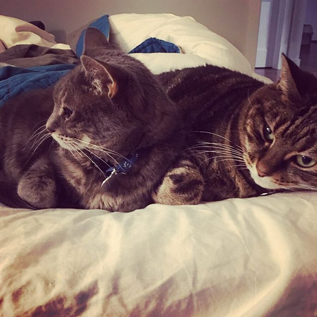 Another very merry kittyversary to these perfect fluffernuts—EIGHT years of this much adorable living in our house. We are truly hashtag blessed. #gotchaday #catsofinstagram #chesapeakeandohiorailway #carolkaye 😻😻😻😻😻😻😻😻
