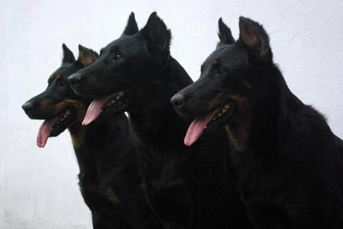 Beaucerons