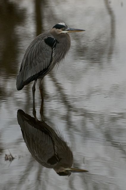 Heron Reflections.jpg