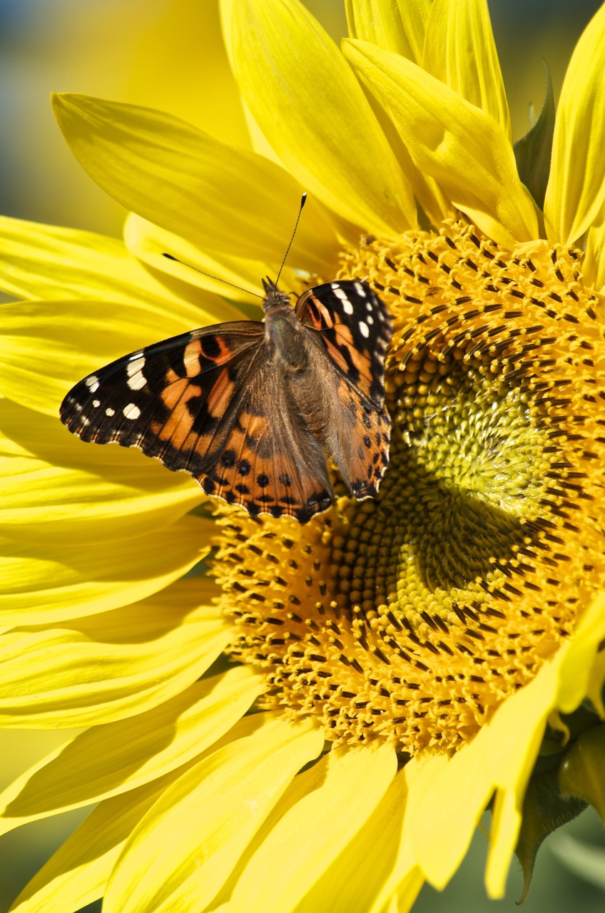 Painted Lady on a Sunflower