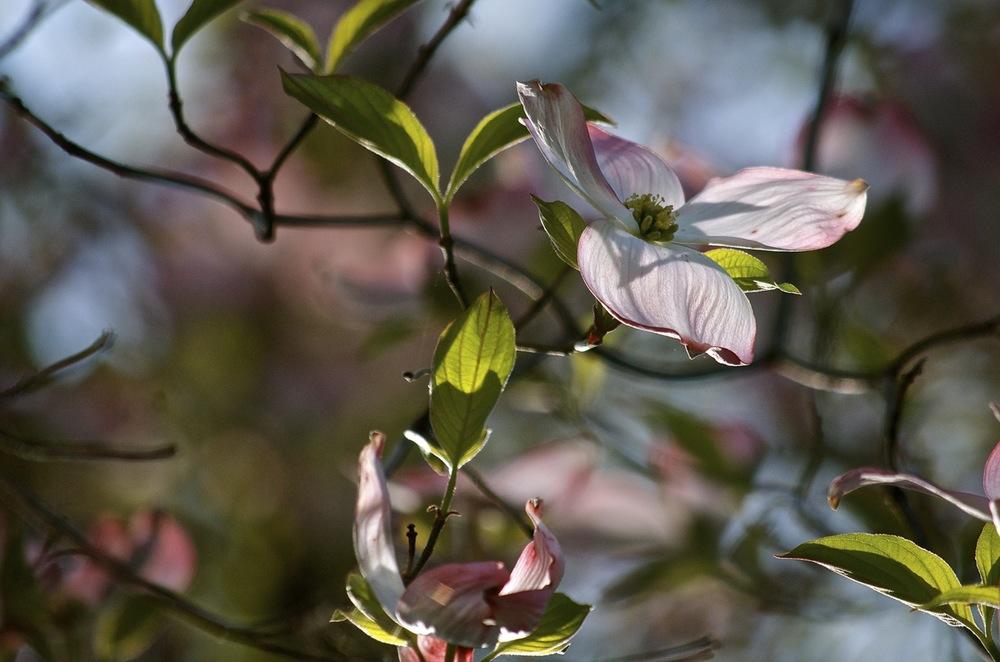 Backlit Blooms