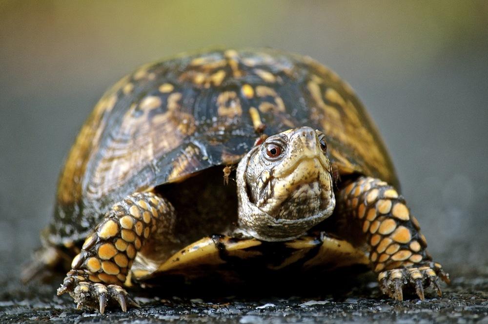 Tortoise of Cape Henlopen