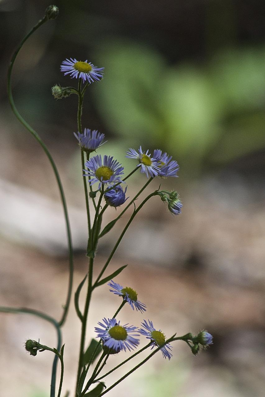 Wildflowers of Assawoman
