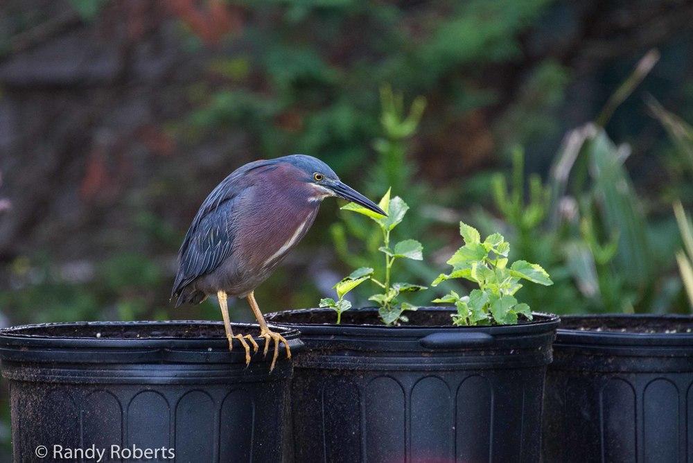 Pot O Heron