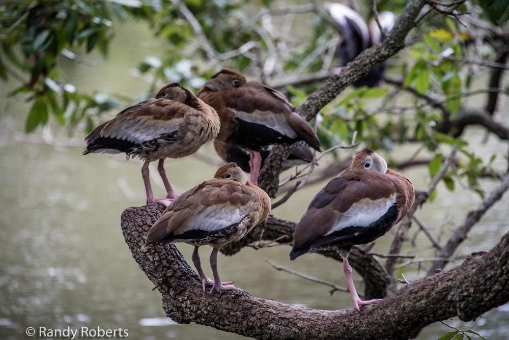 """""""Peeking"""" Ducks"""