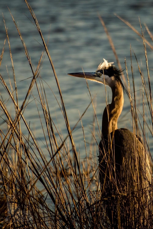 Heron in the Brush