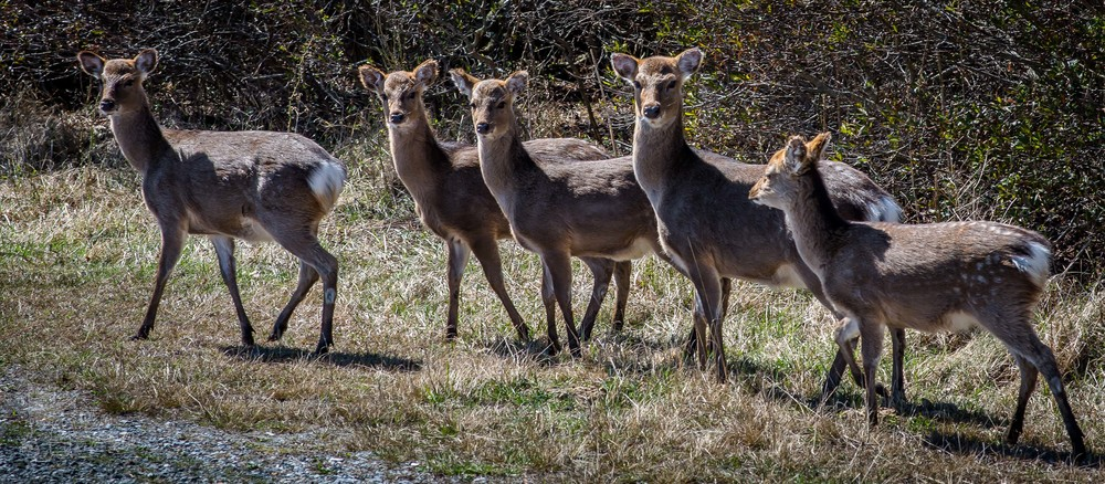 Sika Deer of Assateague